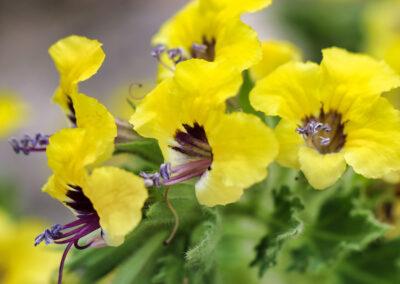 Verbascum-sinuatum-L