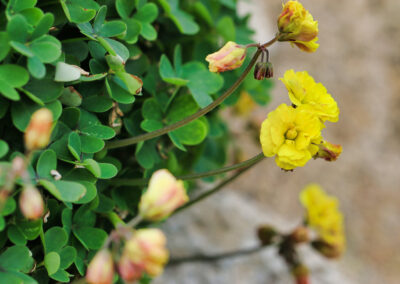 Oxalis-pes-caprae-L.,-Oxalidaceae
